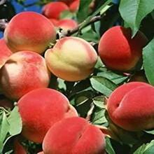 5公分油蟠9號桃樹苗專業種植服務圖片