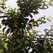 春雪桃樹苗品種介紹結果早豐產性強天天發車圖片