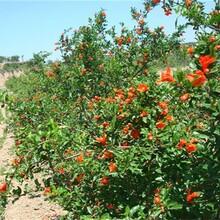 河陰大白甜石榴種植技術突尼斯石榴苗圖片