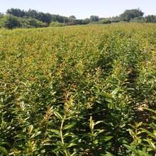 泰山大紅石榴石榴苗比較好的品種黑石榴苗圖片