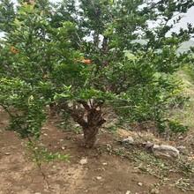 黑籽石榴樹苗品種大全盆栽石榴苗圖片