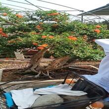 泰山大紅石榴石榴苗目前好的品種牡丹花石榴苗價格圖片