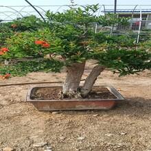 河陰大紅甜石榴成活率很好盆栽石榴苗圖片