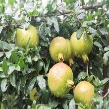 蒙陽紅石榴苗比較好的品種石榴苗批發圖片