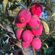 維納斯黃金蘋果苗品種介紹適合種植的蘋果苗品種圖片