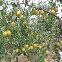 極早熟杏樹苗成熟早果形好安康杏苗圖片