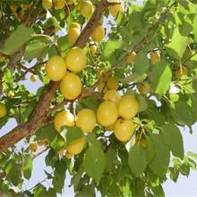 5公分凱特杏樹新推廣的新品種珍珠油杏苗圖片