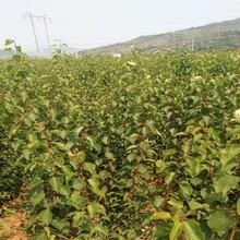 18公分杏樹苗當前好的品種新品種杏樹苗價格圖片