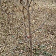 两年早脆王枣树苗技术基地枣树苗批发图片