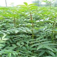 河南鄲城紅花椒苗畝產量地試與土質的要求圖片