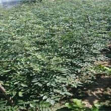 廣西鹿寨大紅袍無刺花椒苗品種介紹花椒苗供應圖片