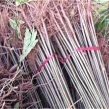 寧夏香椿苗一棵2元香椿苗栽培管理圖片