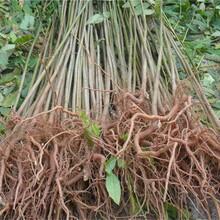 河南香椿苗一棵2元大規格占地香椿樹圖片