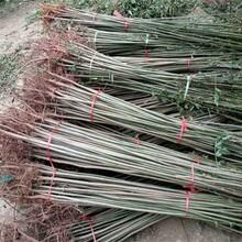 河南香椿苗種植方法香椿苗基地直銷規格全圖片