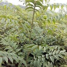 重慶香椿苗批發價格綠香椿苗基地圖片