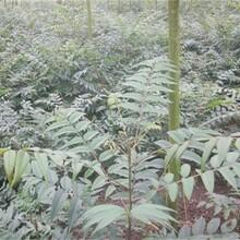 四川香椿苗現挖現賣大規格占地香椿樹圖片