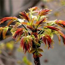 河南香椿苗種植方法大棚香椿畝產圖片