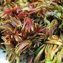 天津香椿苗種植方法香椿種子價格圖片