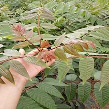 貴州香椿苗種植推廣中心大棚香椿畝產圖片
