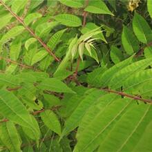 甘肅新香椿苗的價格紅油香椿樹苗供應基地圖片