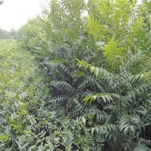 湖北香椿苗一棵2元大棚香椿畝產圖片