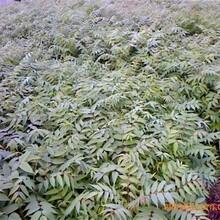 天津新香椿苗的價格紅油香椿苗價格圖片