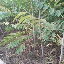 河南香椿苗種植方法紅油香椿苗價格圖片