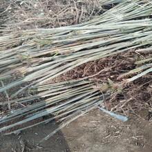 海南香椿苗種植推廣中心大規格占地香椿樹圖片