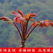 河北香椿苗種植推廣中心香椿苗栽培管理圖片