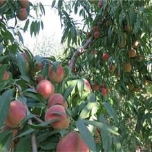 西藏拉薩新桃樹苗價格風味皇后油蟠桃苗白如玉桃苗圖片