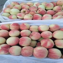 重慶彭水比較好的油桃苗品種中蟠19桃苗白如玉桃苗圖片