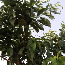 湖南岳陽黃油桃品種大全圖片中蟠19桃苗油桃苗品種特點圖片