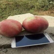 重慶梁平目前好的油桃品種風味太后油蟠桃苗桃樹苗油桃苗蟠桃苗圖片