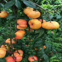 安徽合肥比較好的油桃苗品種風味皇后油蟠桃苗兩年油桃苗價格圖片