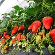 貴州隋珠草莓苗山東草莓苗基地組培草莓苗圖片