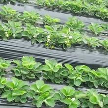 浙江越秀草莓苗草莓苗繁育基地直銷妙香草莓苗圖片