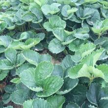 福建白雪公主草莓山東草莓苗基地種植草莓苗利潤圖片