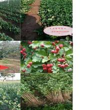 河北越秀草莓苗草莓苗繁育基地直銷脫毒草莓苗圖片