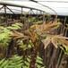 新品種紅油香椿苗哪里有,紅油香椿苗哪里有種植的