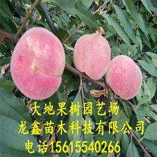 福財油桃樹苗價格、福財油桃樹苗價格及報價