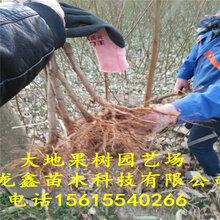 6公分桃樹苗價格、6公分桃樹苗出售價格