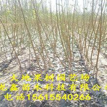 春風桃樹苗批發、春風桃樹苗批發價格