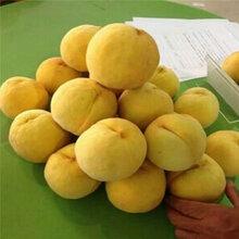 中華壽桃桃樹苗價格、中華壽桃桃樹苗價格及報價