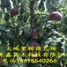 艷紅桃樹苗批發、艷紅桃樹苗批發價格