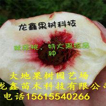 阿布白桃樹苗價格、阿布白桃樹苗廠家價格