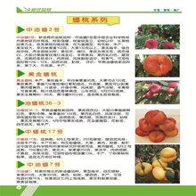 蘇美桃樹苗價格、蘇美桃樹苗價錢