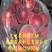春紅桃樹苗價格、春紅桃樹苗今日價格