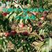 新世紀2號桃樹苗批發、新世紀2號桃樹苗批發售價