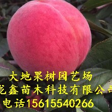 中秋金蜜桃樹苗價格、中秋金蜜桃樹苗供應價格