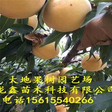 百麗桃樹苗批發、百麗桃樹苗批發廠家